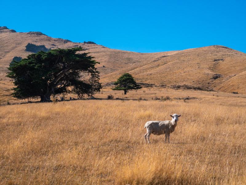 new zealand bank peninsula sheep in wild